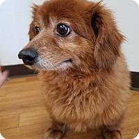 Adopt A Pet :: Lazlo - Las Vegas, NV