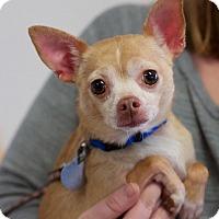 Chihuahua Mix Dog for adoption in Homewood, Alabama - Tamara