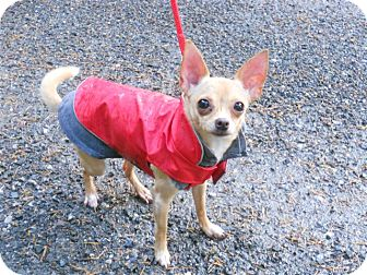 Chihuahua Mix Dog for adoption in Bellingham, Washington - Jewelli