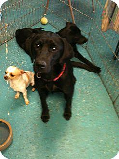 Vizsla/Labrador Retriever Mix Dog for adoption in Phoenix, Arizona - Athena