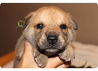 Belgian Malinois/Labrador Retriever Mix Puppy for adoption in Sinking Spring, Pennsylvania - Ripley