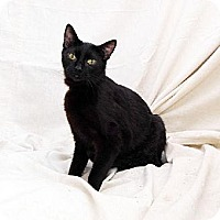 Adopt A Pet :: Black Velvet - Bonsall, CA