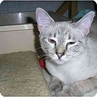 Adopt A Pet :: Nikia - New Port Richey, FL