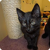 Adopt A Pet :: Licorice - Medina, OH