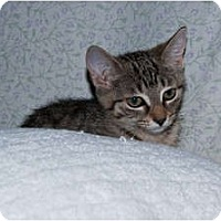 Adopt A Pet :: Stripes - New Egypt, NJ
