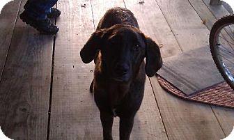 Labrador Retriever Dog for adoption in Wartburg, Tennessee - Brinney