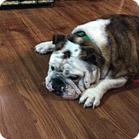 Adopt A Pet :: Mick Jagger - Cibolo, TX