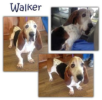 Basset Hound Dog for adoption in Marietta, Georgia - Walker
