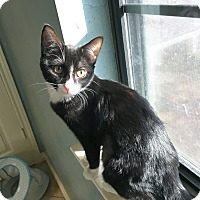 Adopt A Pet :: Whiskers - Arlington/Ft Worth, TX