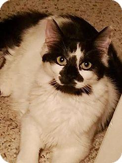 Domestic Mediumhair Cat for adoption in Modesto, California - Angela