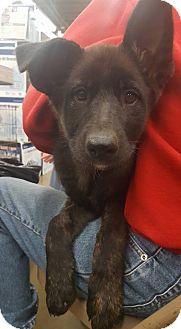 Australian Shepherd Mix Puppy for adoption in Fresno, California - Eclipse
