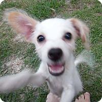 Adopt A Pet :: Pete - Houston, TX