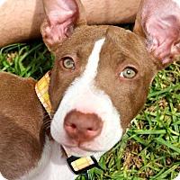 Adopt A Pet :: Haircut Pup - Twist - Adopted! - San Diego, CA