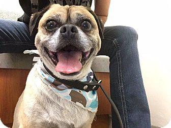 Pug/Beagle Mix Dog for adoption in Gardena, California - Preston