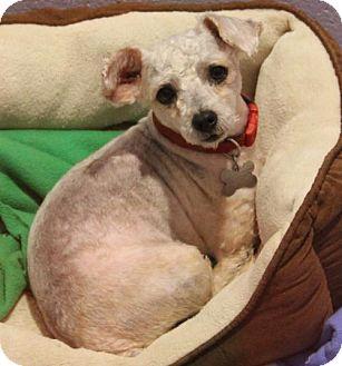Poodle (Miniature) Mix Dog for adoption in Kennesaw, Georgia - Rio