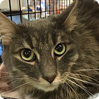 Adopt A Pet :: Felix - Yorba Linda, CA