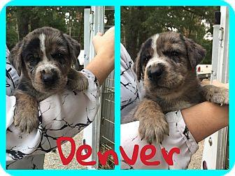 Australian Cattle Dog/Hound (Unknown Type) Mix Puppy for adoption in Bath, Maine - Denver