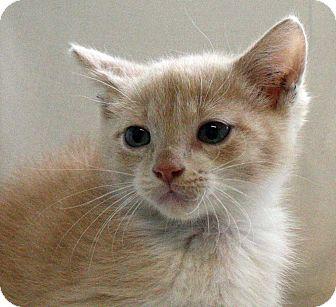 Domestic Shorthair Kitten for adoption in Fort Madison, Iowa - Sally