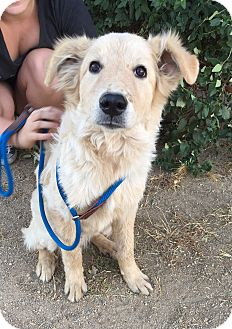 Golden Retriever/Australian Shepherd Mix Puppy for adoption in Studio City, California - Nutter Butter