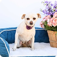 Adopt A Pet :: Snow White - Auburn, CA