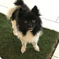Pomeranian Dog for adoption in Los Angeles, California - OREO