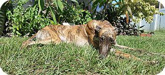 Greyhound Dog for adoption in Brandon, Florida - Hila