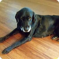 Labrador Retriever Mix Dog for adoption in Davenport, Iowa - Lucy