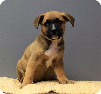 Terrier (Unknown Type, Medium) Mix Puppy for adoption in Valparaiso, Indiana - Squanto