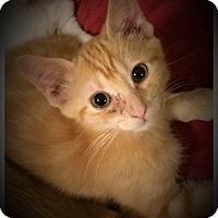 Adopt A Pet :: Mr Fabulous - Whitehall, PA