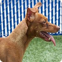 Miniature Pinscher Dog for adoption in Oceanside, California - Rusty