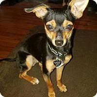Adopt A Pet :: Muffin  8 Months - C/S & Denver Metro, CO