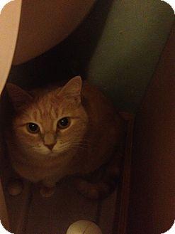 Siamese Cats For Adoption In Pennsylvania
