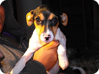 Jack Russell Terrier Mix Puppy for adoption in Alamosa, Colorado - Jinxy