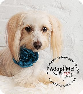 Yorkie, Yorkshire Terrier/Maltese Mix Dog for adoption in Omaha, Nebraska - Maggie Mae