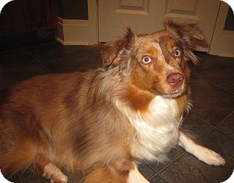 Australian Shepherd Dog for adoption in Minneapolis, Minnesota - Marley