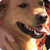 Adopt A Pet :: Cruiser - Cheshire, CT