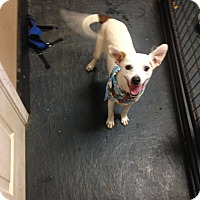 Jack Russell Terrier/Terrier (Unknown Type, Small) Mix Dog for adoption in Fort Worth, Texas - Mitsy