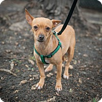 Adopt A Pet :: Nicole - New York, NY