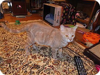 Domestic Shorthair Cat for adoption in Norwich, New York - Honey