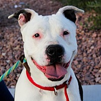 Pit Bull Terrier Mix Dog for adoption in Las Vegas, Nevada - Daisy