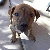 Adopt A Pet :: Gypsy - Gilbert, AZ