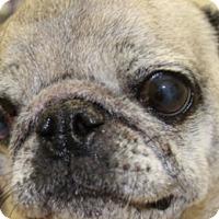 Adopt A Pet :: Lola - Pismo Beach, CA