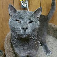 Domestic Shorthair Cat for adoption in Morganton, North Carolina - Palladium