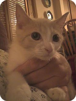 Domestic Shorthair Kitten for adoption in Columbus, Ohio - Pinkie