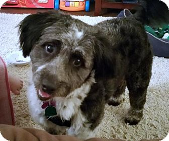 Lhasa Apso/Poodle (Miniature) Mix Dog for adoption in Trenton, New Jersey - Gizmo