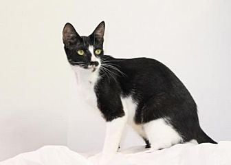 Oriental Cat for adoption in Murfreesboro, North Carolina - Nancy
