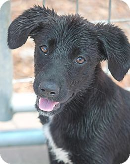 Australian Shepherd/Labrador Retriever Mix Puppy for adoption in Cranston, Rhode Island - Britta Peterson