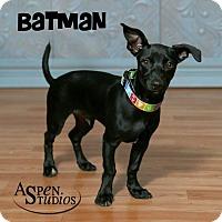 Whippet/Dachshund Mix Dog for adoption in Valparaiso, Indiana - Batman