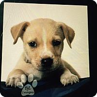 Adopt A Pet :: Benji - Barnegat, NJ