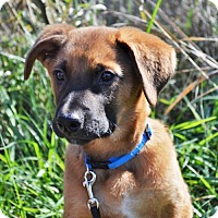 Belgian Malinois/Australian Shepherd Mix Puppy for adoption in Gretna, Nebraska - Theo (aka Theo) *Leila's Puppy*